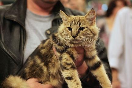 Amber_Norwegian_Forest_Cat.jpg