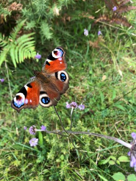 Peacock Butterfly. A powerful flier with 4 prominent eyespots  on its wings.