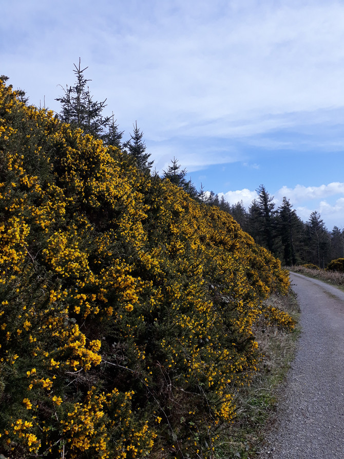 The Sweet Smell of the Prickley Gorse: