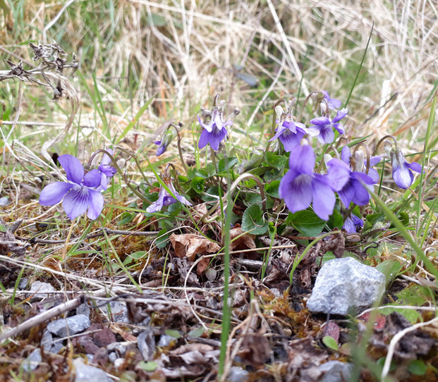 Wild Violets. Apr
