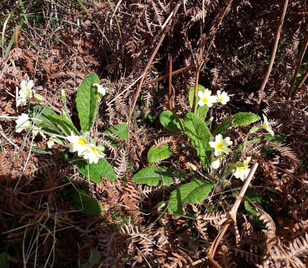 April brings the Primrose Sweet