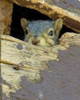 SQUIRREL IN ATTIC.jpg