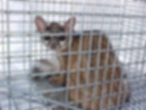 ringtail in a cage 4.JPG