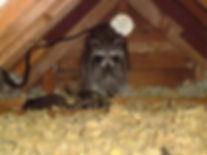 racoon family 2.jpg