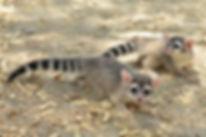 ringtail babies 2.jpg