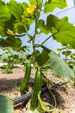 cucumbers in the greenhouse