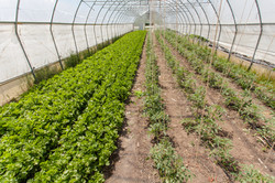 Greenhouse tomatoes and celery