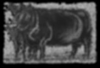 Aberdeen Angus koe