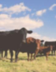 Aberdeen Angus koeien