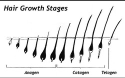 Stages of Lash Growth