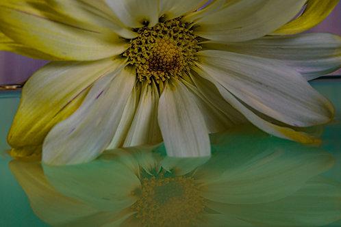 Daisy in Water