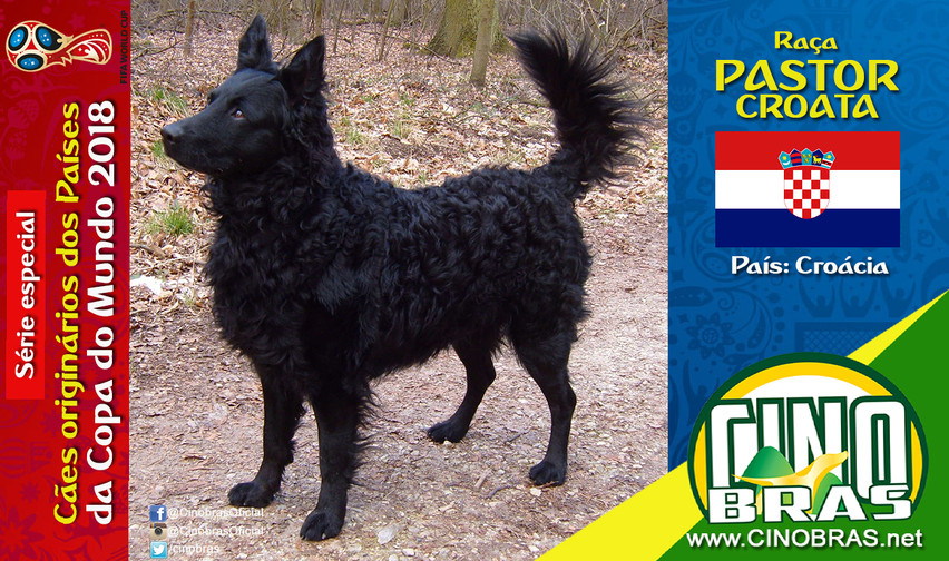 Raça: PASTOR CROATA País Origem: CROÁCIA  O Pastor Croata é um cão alerta, ágil e inteligente. Ele possui instinto de pastoreio e tem excelência como cão de guarda.