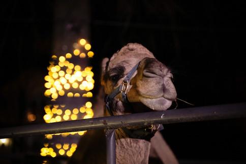 christmas camel.JPG