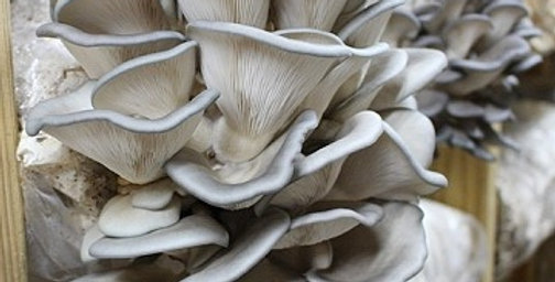 King Blue Oysters (Pleurotus ostreatus)