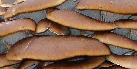 Hawk's Hallow Oyster (Pleurotus ostreatus) Maine Wild Strain