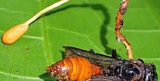 Wasp Cordyceps (Ophiocordyceps sphecocephala)