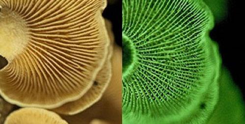 Bitter Oyster (Panellus stipticus)