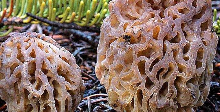 Natural Morel (Morchella snyderi)