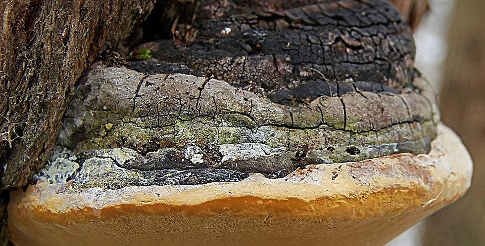 Black-Hoof Mushroom (Phellinus Linteus)