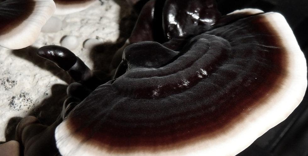 Black Reishi (Ganoderma sinense)