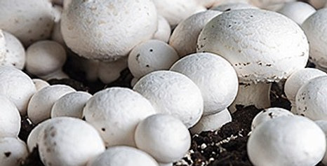 White Button (Agaricus bisporus)