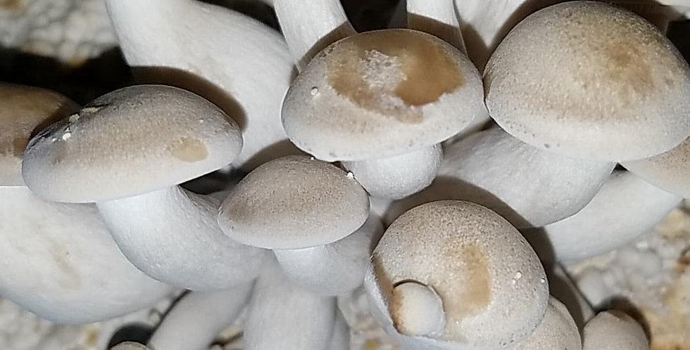 Beech (Wild Strain) (Hypsizygus tessulatus)