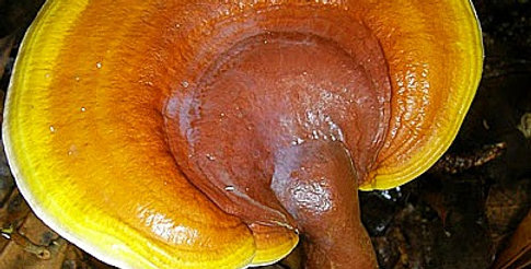 Yellow Reishi (Ganoderma Curtisii)