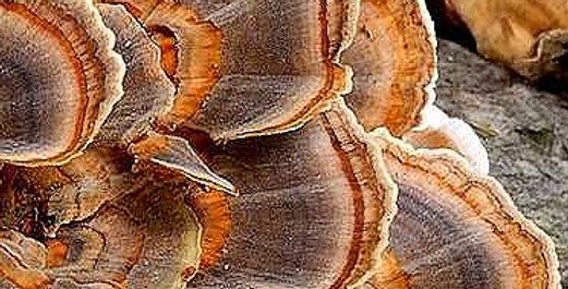 Turkey Tail (Wild Strain) (Trametes versicolor)