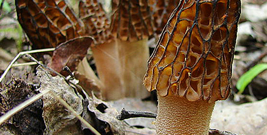 Black Morel (Morchella angusticeps)