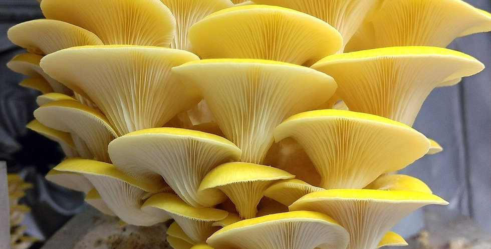 Golden Treasure Oyster (Pleurotus citrinopileatus)