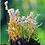 Thumbnail: Cordyceps Farinosa (Isaria farinosa)