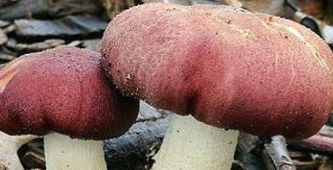 Wine Cap (Stropharia rugoso-annulata)