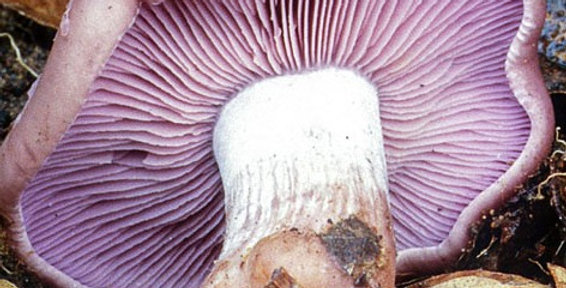 Wood blewit (Lepista nuda)(Wild Strain)