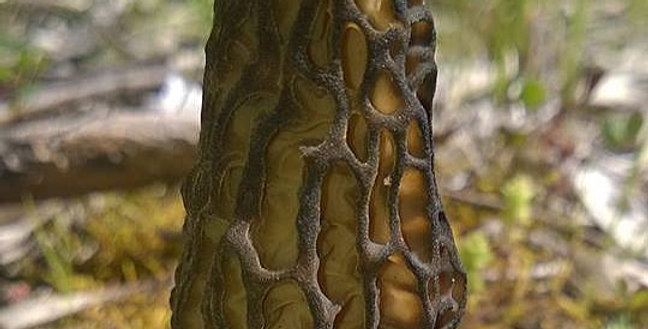 Black Morel (Morchella australiana)