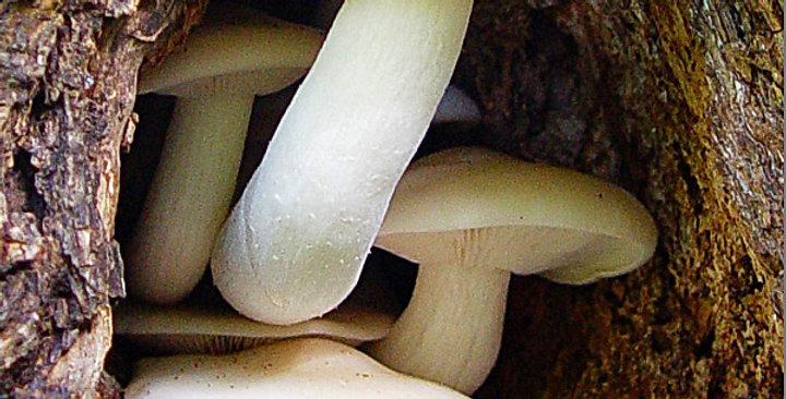 White Elm Mushroom  (Hypsizygus ulmarius)(REAL)