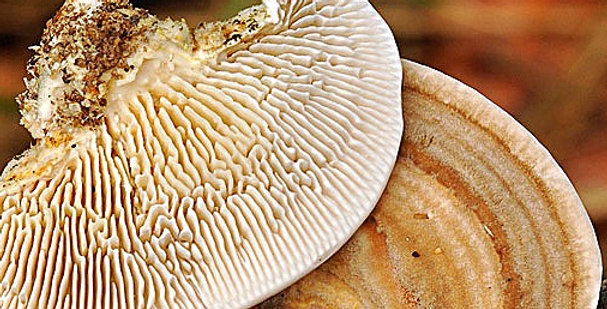 The Gilled Polypore (Lenzites betulina)