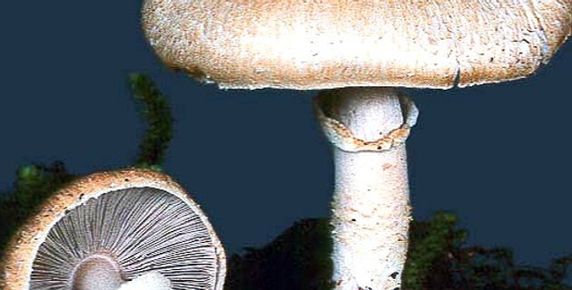 Almond Mushroom (Agaricus subrufescens)