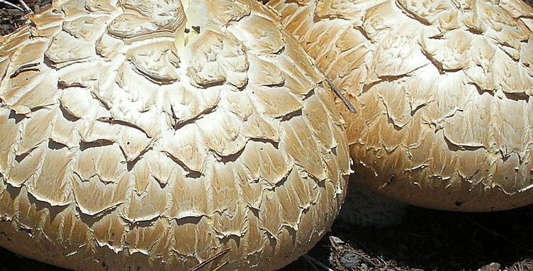 Giant Sawgill (Neolentinus ponderosus)