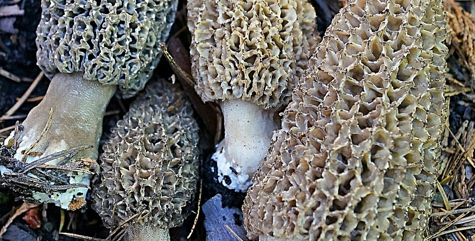 Black Foot Morel (Morchella tomentosa)