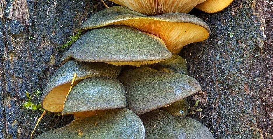 Late oyster (Panellus serotinus)