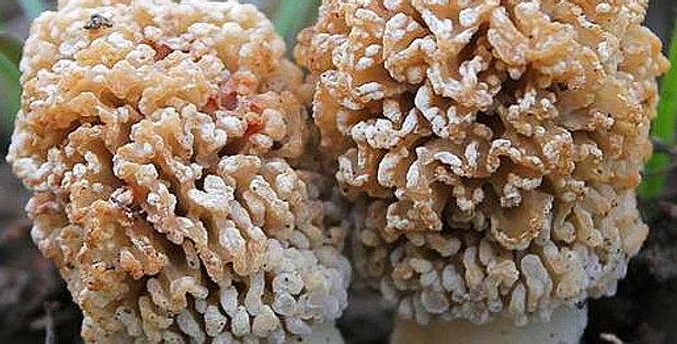 Blistered Morel (Morchella steppicola)