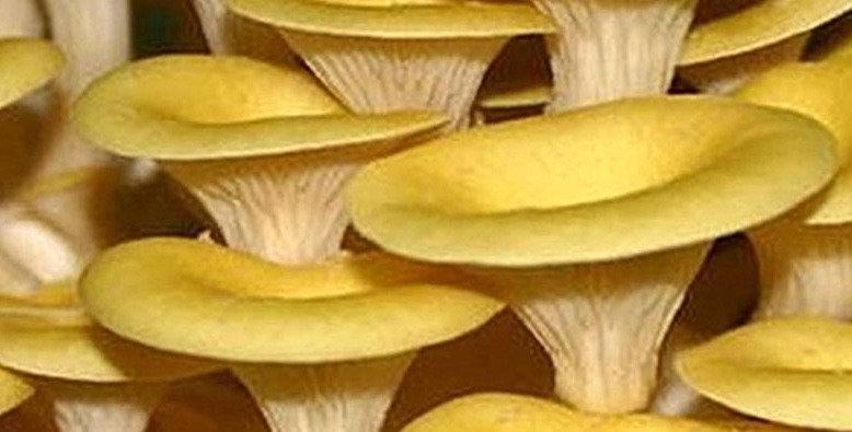 Golden Oyster (Pleurotus citrinopileatus)