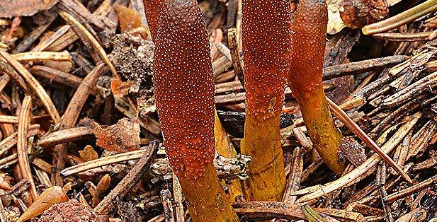 Goldenthread Cordyceps (Tolypocladium ophioglossoides)
