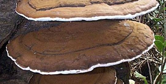 Artist's Conk (Ganoderma applanatum)