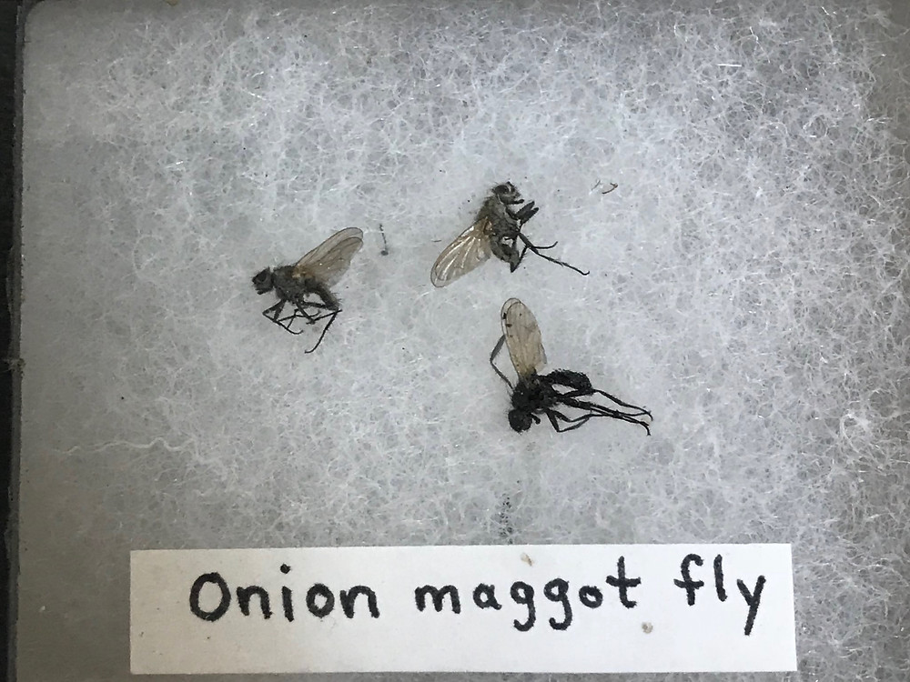 Onion Maggot Fly