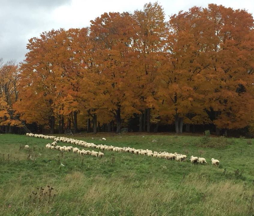 The Wand sheep flock politely forming a line as they move to pasture.