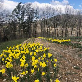 flowers_0005_daffodils-rows.jpg