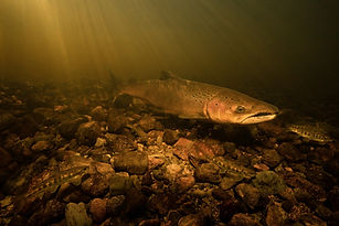 large-salmon-parr-mckeens-brook.jpg