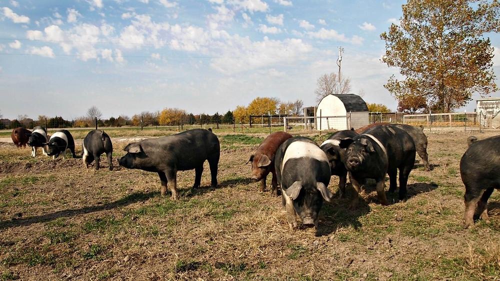 Homestead Meats Pasture-Raised Hogs at La Pryor Farms