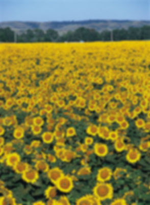 sunflower field image.jpg